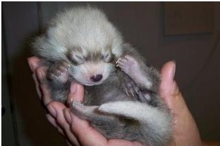 Red panda cub li ming 1 week