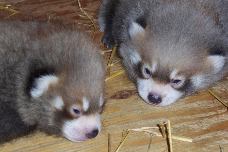 Red panda cubs 4 weeks