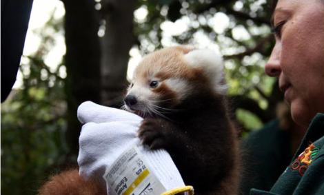 Perth zoo baby red pandas 2