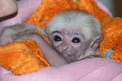 Baby gibbon schwerin zoo 4