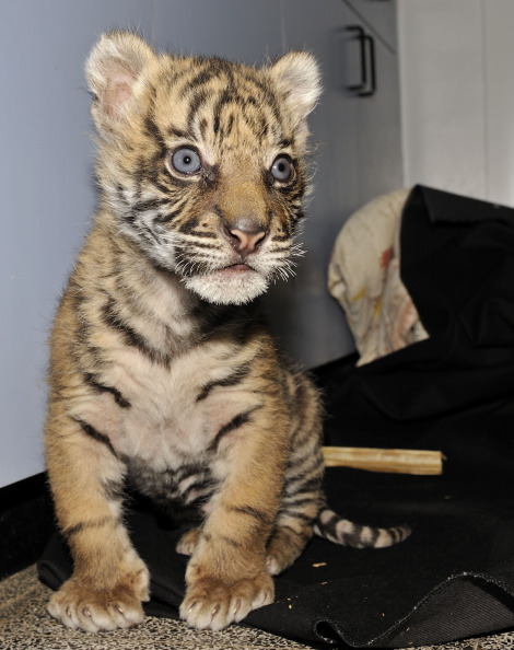 Tiger cub jersualem zoo profile