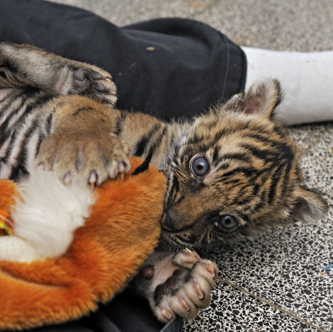 Tiger cub jersualem zoo with toy
