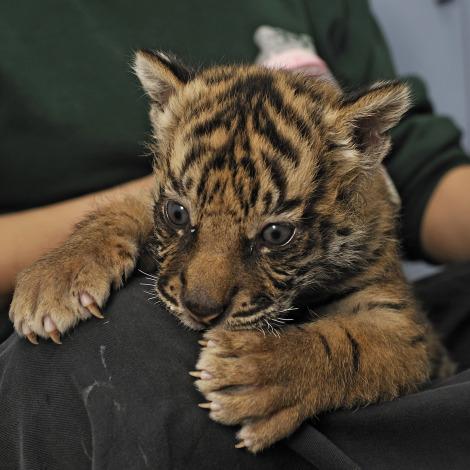 Tiger cub jersualem zoo biting knee