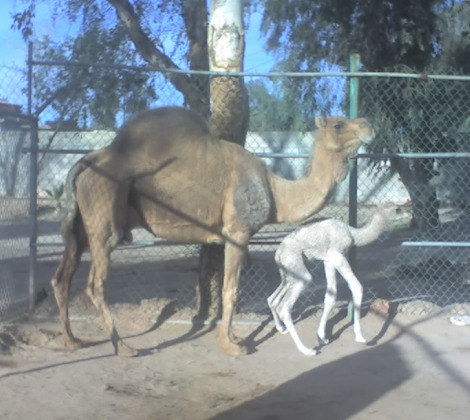 Camel with mom bosque y zoologico de ciudad