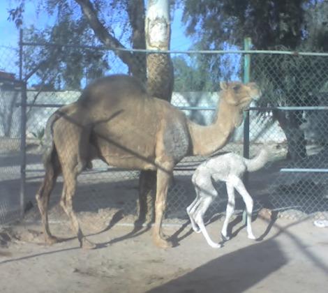 Camel with mom bosque y zoologico de ciudad
