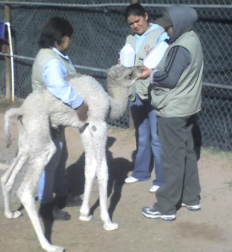 Camel bosque y zoologico de ciudad