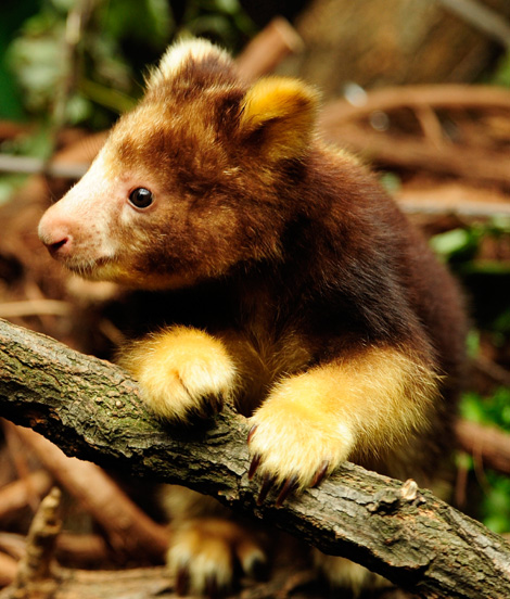 _JLM5283-tree-kangaroo-joey