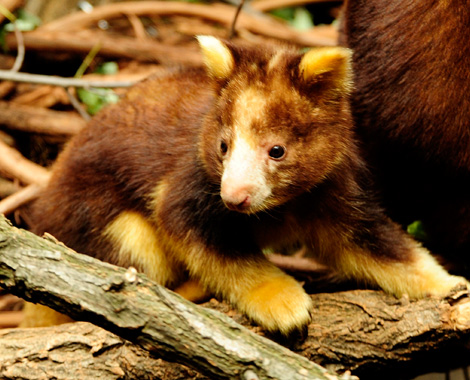 _JLM5275-tree-kangaroo-joey