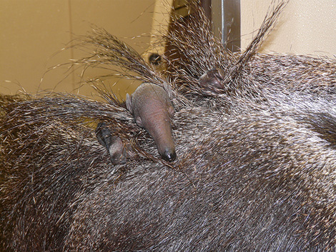Smihtsonian_zoo_anteater