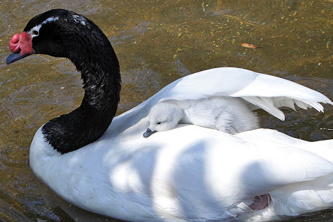 Black Necked Swan Cygnets - Riverbanks Zoo under moms wing 2