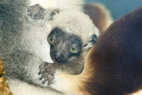 Sifaka Saint Louis Zoo 1