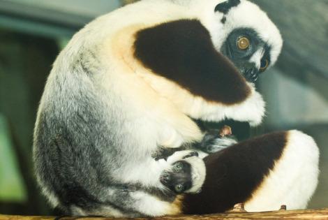 Sifaka Saint Louis Zoo 2a