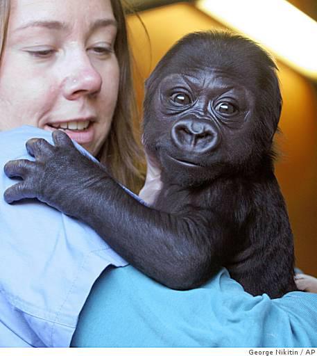 Ba-baby_gorilla_0499791354
