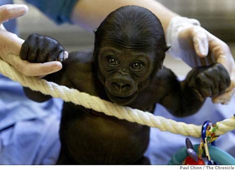 Ba-gorilla13_ph_0499790912