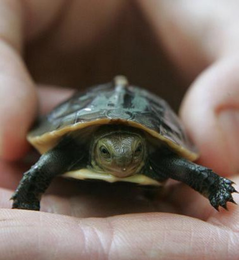 Chinese box turtle baby hatchling 2