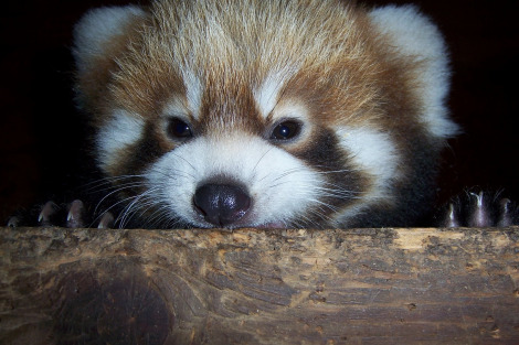 Lei ming baby red panda 5 weeks