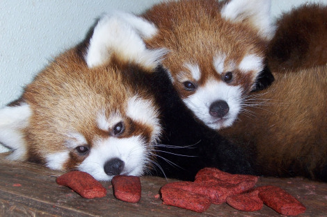 Baby red panda cubs 4 months