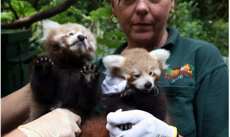 Perth zoo baby red pandas 1