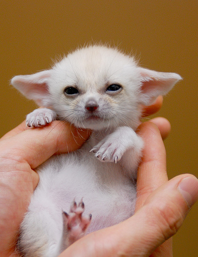 Fennec fox kit everland zoo small 1