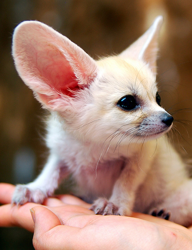 Fennec fox kit everland zoo older 1
