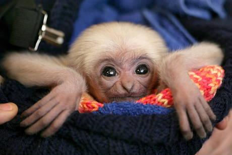 Baby gibbon schwerin zoo 1