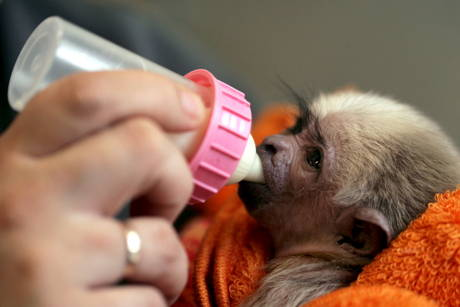 Baby gibbon schwerin zoo 3