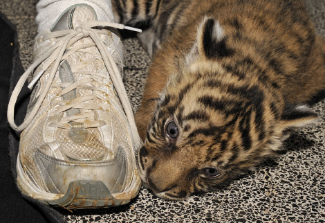 Tiger cub jersualem zoo with shoe