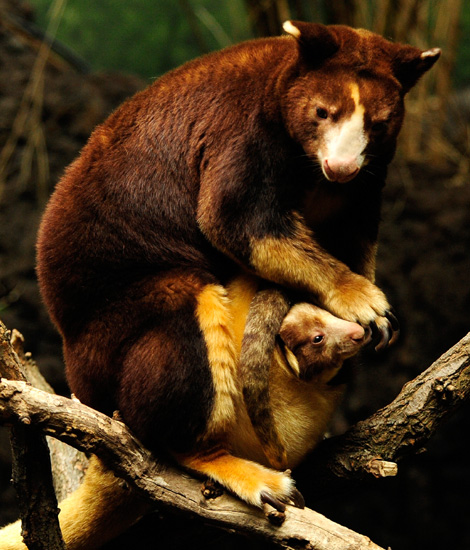 _JLM5157-tree-kangaroo-joey