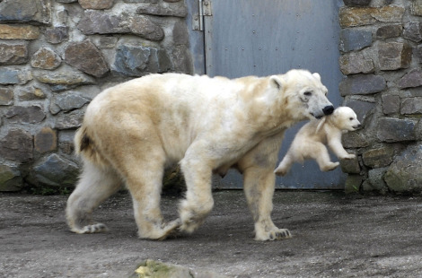 Youre coming with me polar bear cubs