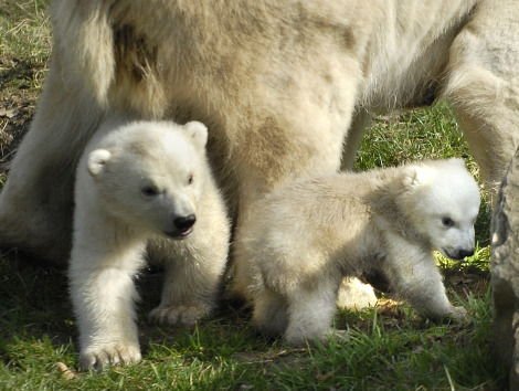 Two polar bear cubs with mom