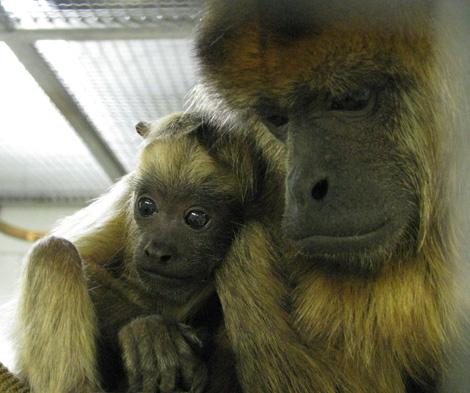 Howler_monkey3
