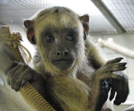Howler_monkey2a