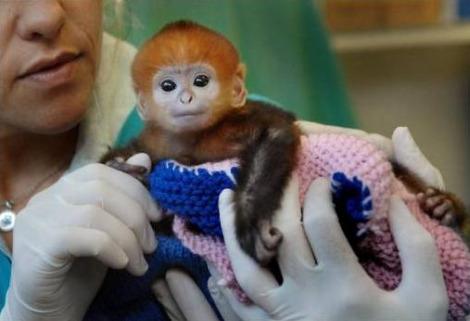 Francois langur baby 1 taronga zoo
