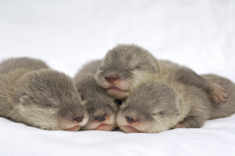SeaWorld Baby Otters 2