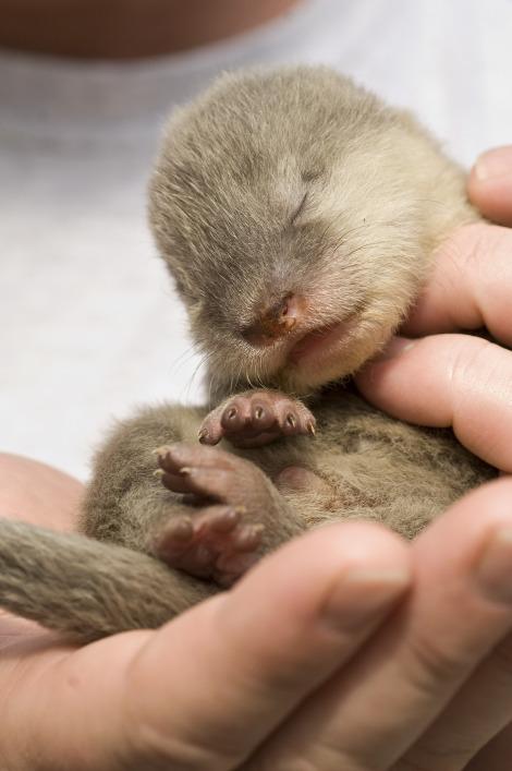 SeaWorld Baby Otters1