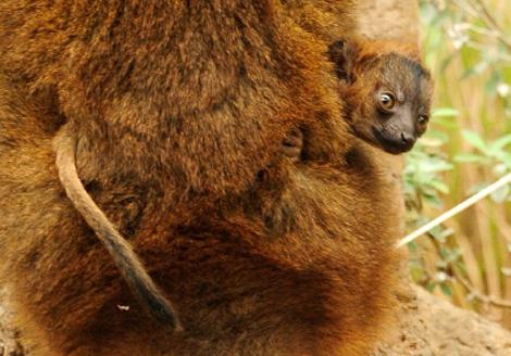 Baby collared lemur 2