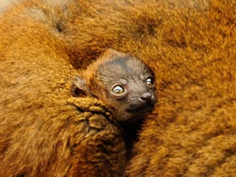 Baby collared lemur 3