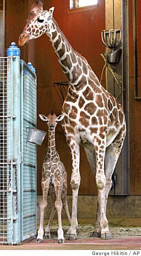 Ba-baby_giraffe_0499982728