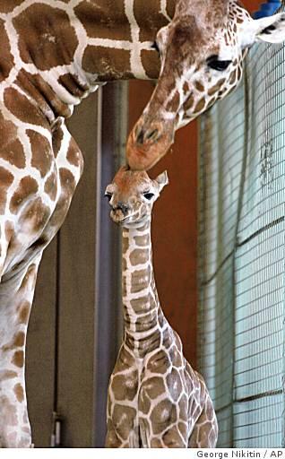 Ba-giraffe03_ph_0499982741