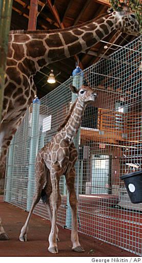 Ba-baby_giraffe_0499982724
