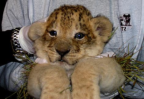 Lion cub profile 2 lee richardson zoo