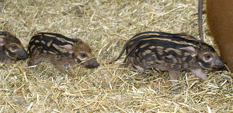 Red river hoglets running in line