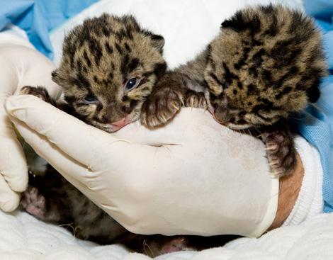 Clouded-Leopard-Cubs-4