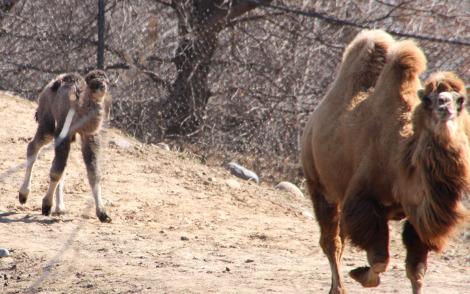 Bactrian camel calves mn zoo pic 5b