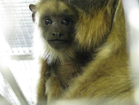 Howler_monkey1