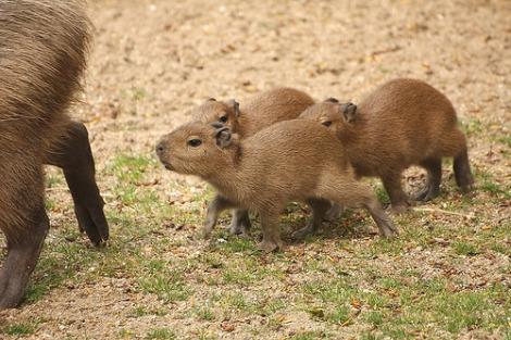Baby capybara 1