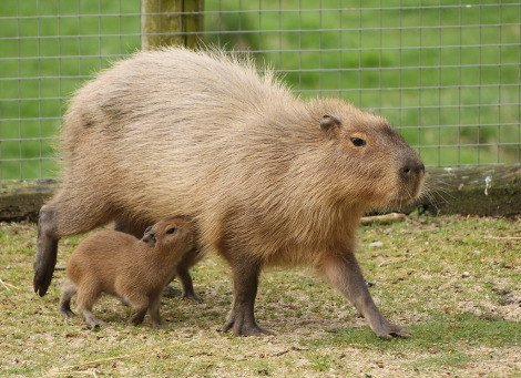 Baby capybara nursing on the run