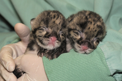 Clouded leopard twins