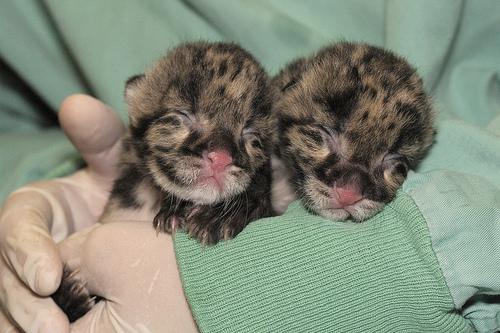 Clouded leopard twins