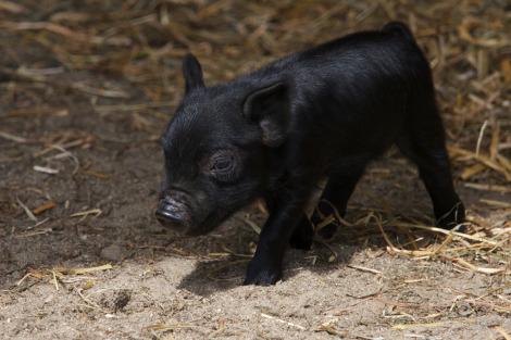 Guinea hog piglet 1